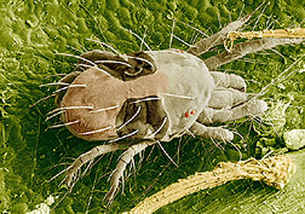 the common north american dust mite Global pharmaceutical company, alk today announced that its sublingual allergy immunotherapy (slit) tablet odactra [tm] is now available through prescription in the us for those 18 years through 65 years of age who suffer from house dust mite (hdm)-induced allergic rhinitis, with or without.