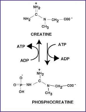 a description of the advantages and disadvantages of creatine in an athletes body Caffeine has long been used as an energy boost for endurance athletes  the benefits of caffeine for endurance athletes  enabling the body to use fat as its.