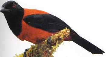 پیتو هویی پرنده سمی