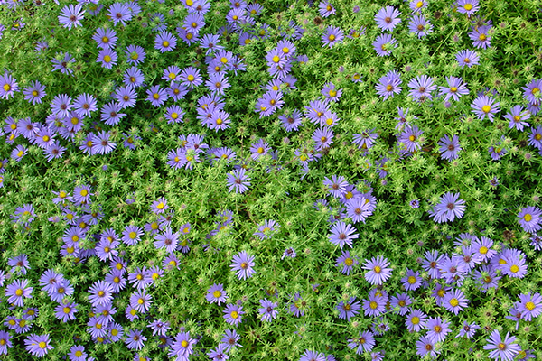 lavender colored wildflowers - photo #2