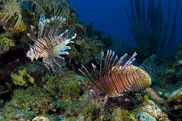 Invasive species among marine science subjects in Cayman ...